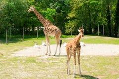 梅赫伦,比利时- 2016年5月17日:长颈鹿在Planckendael动物园里 免版税库存图片
