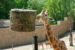梅赫伦,比利时- 2016年5月17日:长颈鹿在Planckendael动物园里 库存照片