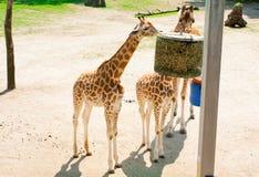 梅赫伦,比利时- 2016年5月17日:长颈鹿在Planckendael动物园里 免版税库存照片