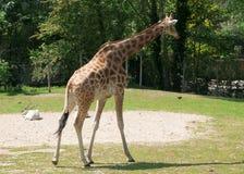 梅赫伦,比利时- 2016年5月17日:Giraff在Planckendael动物园里 免版税库存照片