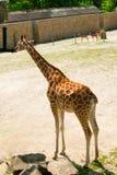 梅赫伦,比利时- 2016年5月17日:Giraff在Planckendael动物园里 免版税库存图片