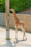 梅赫伦,比利时- 2016年5月17日:Giraff在Planckendael动物园里 库存图片
