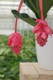 梅迪尼利亚植物的开花的秀丽 免版税库存照片