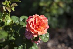 梅里克玫瑰园的罗斯 免版税图库摄影