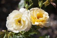 梅里克玫瑰园的罗斯 库存图片