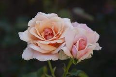 梅里克玫瑰园的罗斯 免版税库存图片