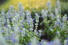 梦想的小组蓝色Sulvia,紫罗兰色花 库存照片
