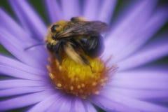 梦想翠菊的土蜂 免版税库存照片