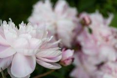 梦想,粉红彩笔牡丹开花充分地开花 图库摄影
