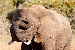 梦想-非洲人布什大象 库存照片