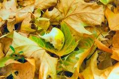 梨叮咬在叶子的 免版税库存照片