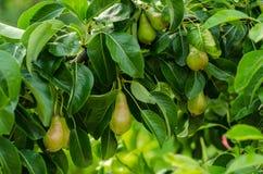 梨和洋梨树 库存图片