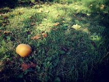 梨在秋天庭院里 免版税库存照片