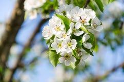 梨开花的分支  开花的春天庭院 开花梨c 免版税库存照片