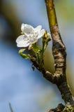 梨开花花在春天 库存照片