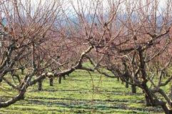 梨果树园 库存照片