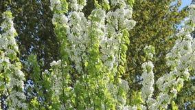 洋梨树开花白花 豪华的花园 股票视频