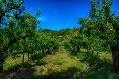 洋梨树种植园 免版税库存图片