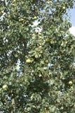洋梨树(从家庭蔷薇科的Pyrus) 免版税库存图片