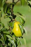 梨照片在叶子中的在果子的一棵树在晴朗设置了 库存照片