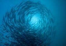 梭子鱼学校盘旋 免版税图库摄影