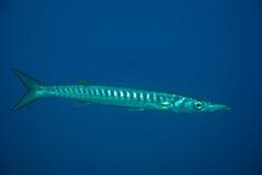 梭子鱼欧洲 库存图片