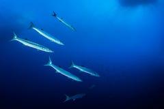 梭子鱼浅滩  图库摄影