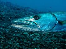 梭子鱼 库存照片