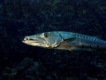 梭子鱼 图库摄影