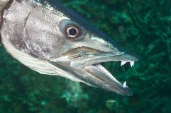 梭子鱼 免版税图库摄影