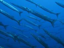 梭子鱼 免版税库存照片