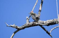梯子支持的啄木鸟, Sweetwater沼泽地公园,图森亚利桑那 库存图片