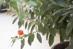 梯沽的叶子 免版税库存照片