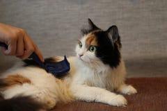 梳子头发颜色猫 库存图片