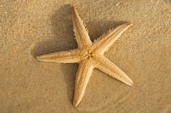 梳子沙子海星下面- Astropecten sp 图库摄影