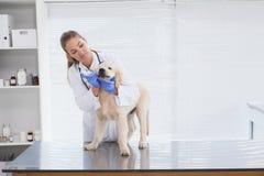 检查一条小狗的狩医 免版税库存照片
