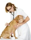检查一条成人sharpei狗的心率年轻狩医。 图库摄影
