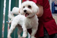 检查一条逗人喜爱的狗的狩医 库存照片