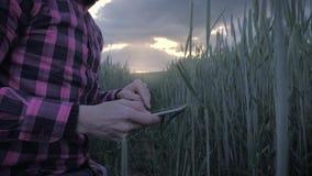检查他的与一台片剂计算机的现代男性农夫庄稼在领域 影视素材