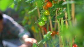 检查和检查有机蕃茄植物的质量的男性农夫人在庭院领域的 蕃茄收获 股票录像