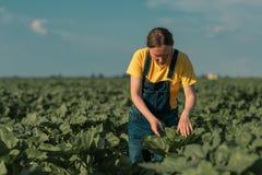检查在领域的庄稼发展的向日葵农夫 免版税库存图片