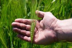 检查大麦收获  免版税库存图片
