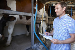 检查奶牛的农夫在挤奶厅里 免版税库存照片