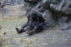 检查她的膝盖的西部凹地大猩猩 库存照片
