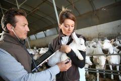 检查小山羊的妇女狩医 免版税库存照片