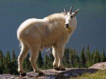 检查山羊的backtrail他的山 免版税库存图片