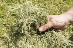检查干草的质量 库存照片