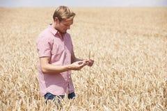 检查庄稼的麦田的农夫 库存照片