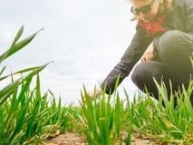 检查收获的年轻农业妇女生物学家 库存图片