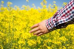 检查油菜籽的质量的农夫 库存图片